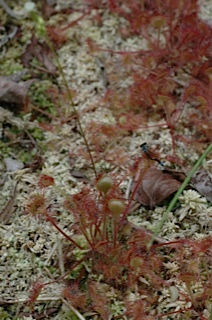 Sundew eating Damselfly
