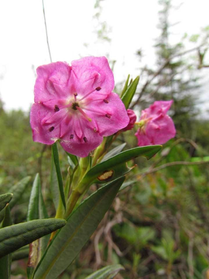 Bog laurel flower