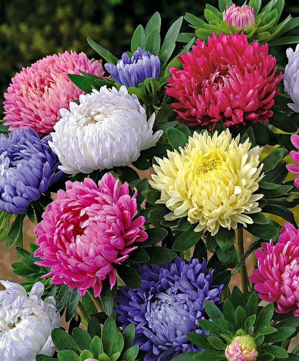 Asters Flowers Annual Flower Seeds Annual Flowers