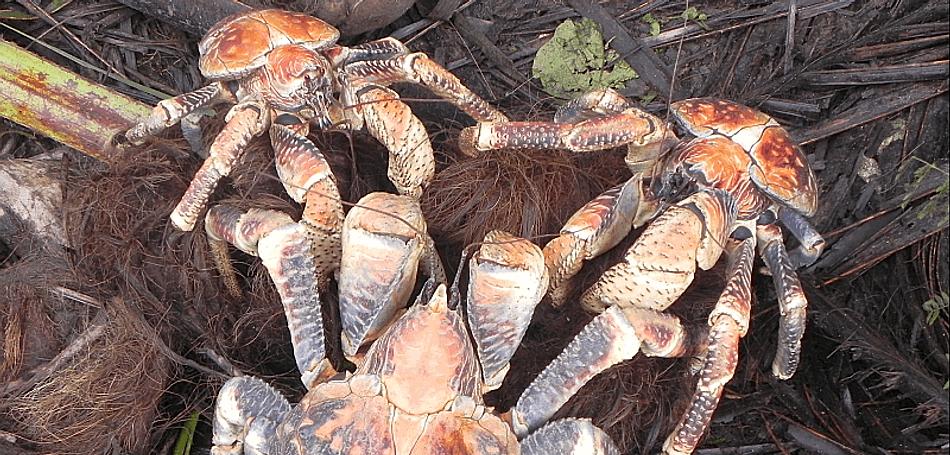 Christmas Island crabs, Robber crab, Christmas Island, Max Orchard