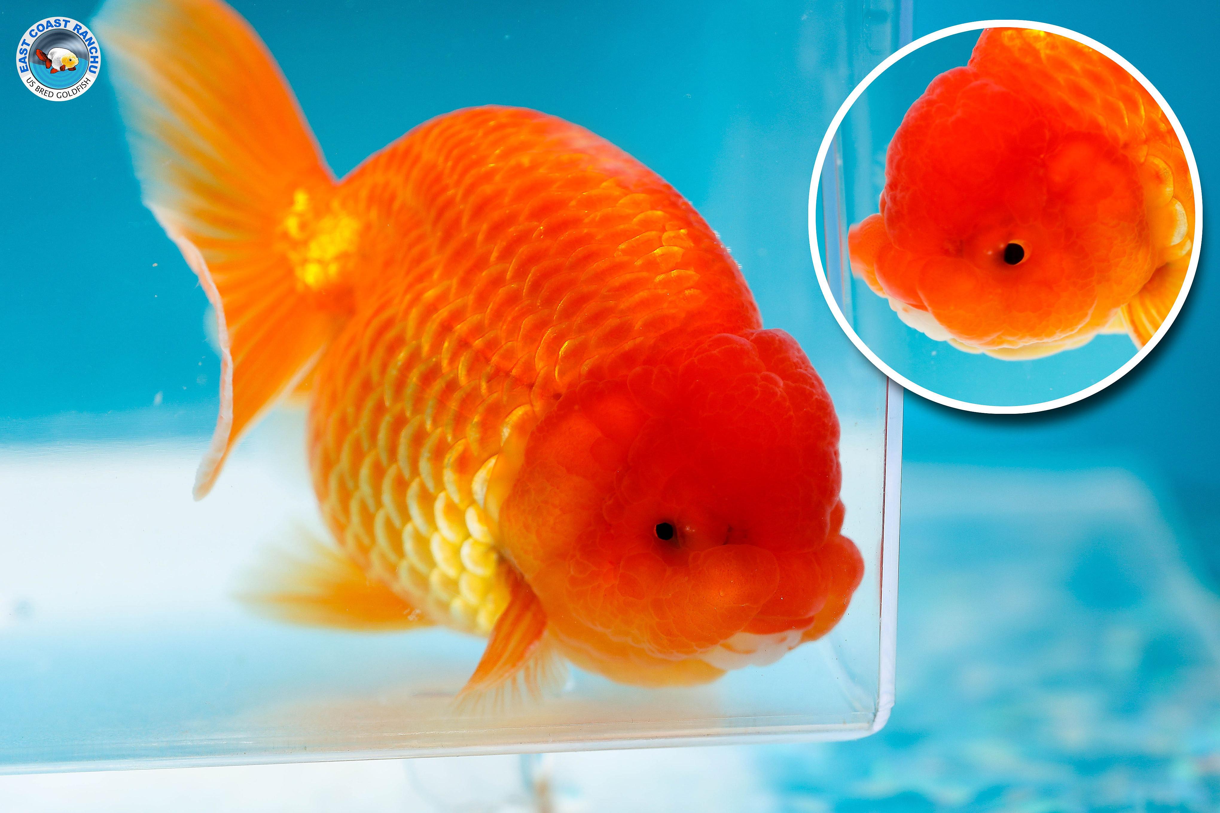 Red ranchu goldfish
