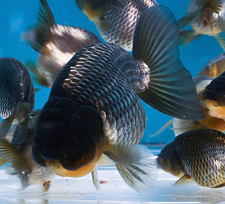 Fish aquarium in ecr - Bacon American Blue Ranchu