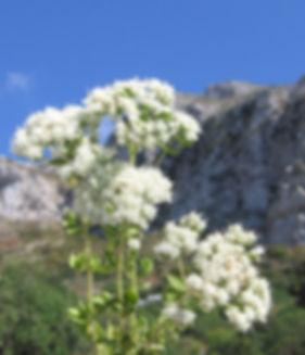 άγρια ρίγανη Αμοργο, AEGEAN HERBS