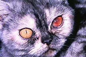 сухая форма фип у кошки симптомы знала одну