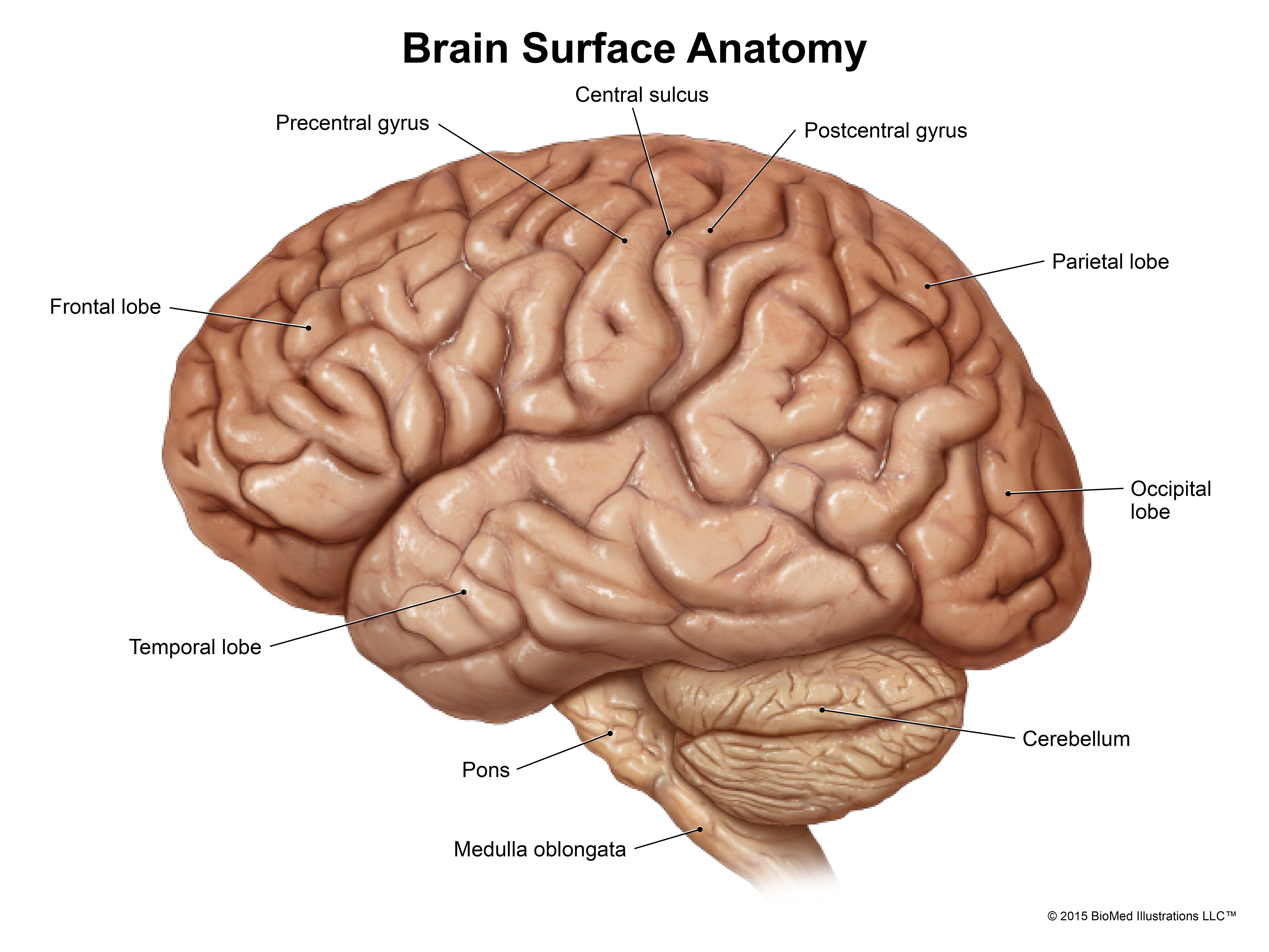 Surface Anatomy Of Brain