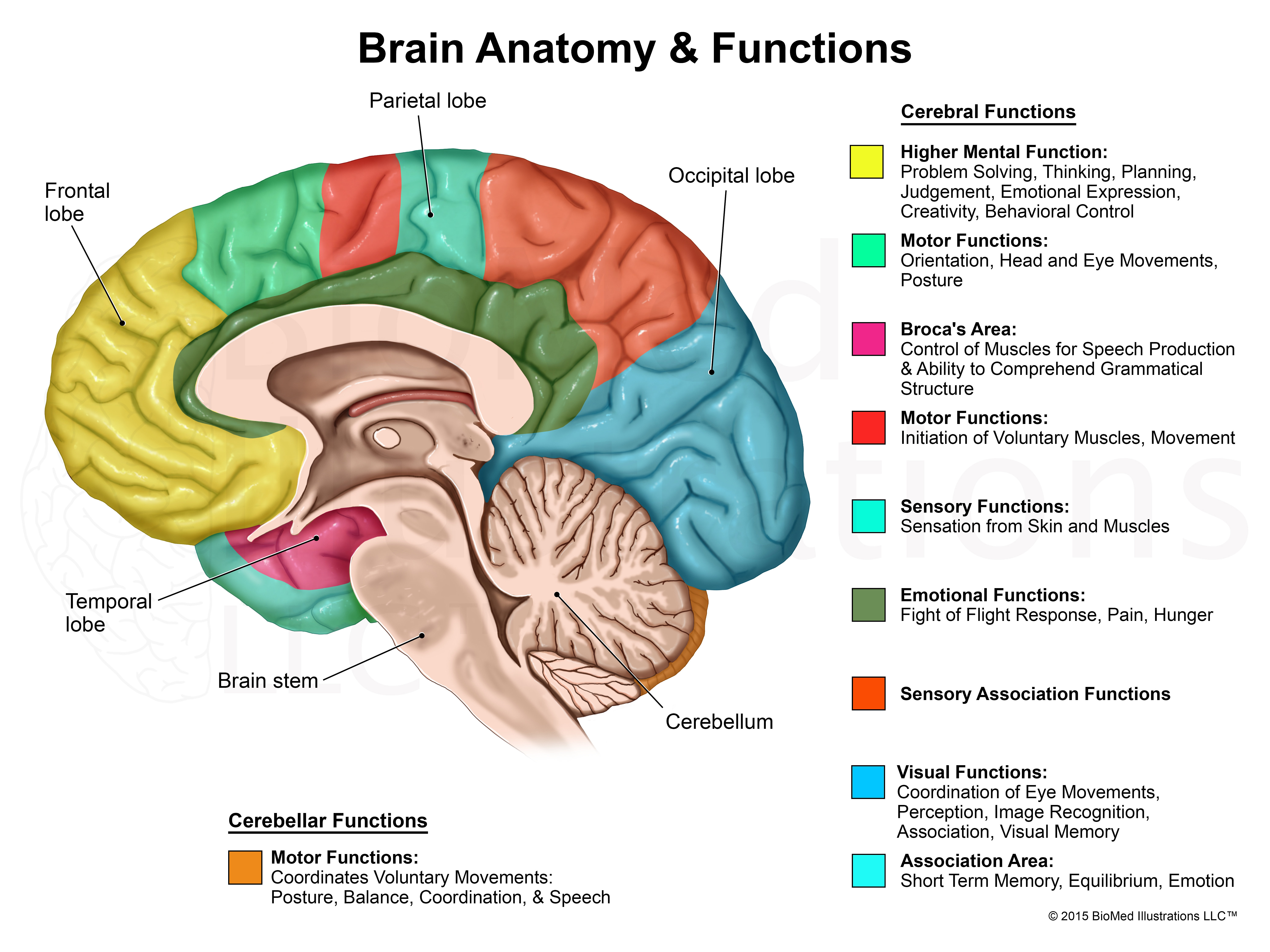 Anatomy of the brain and its function