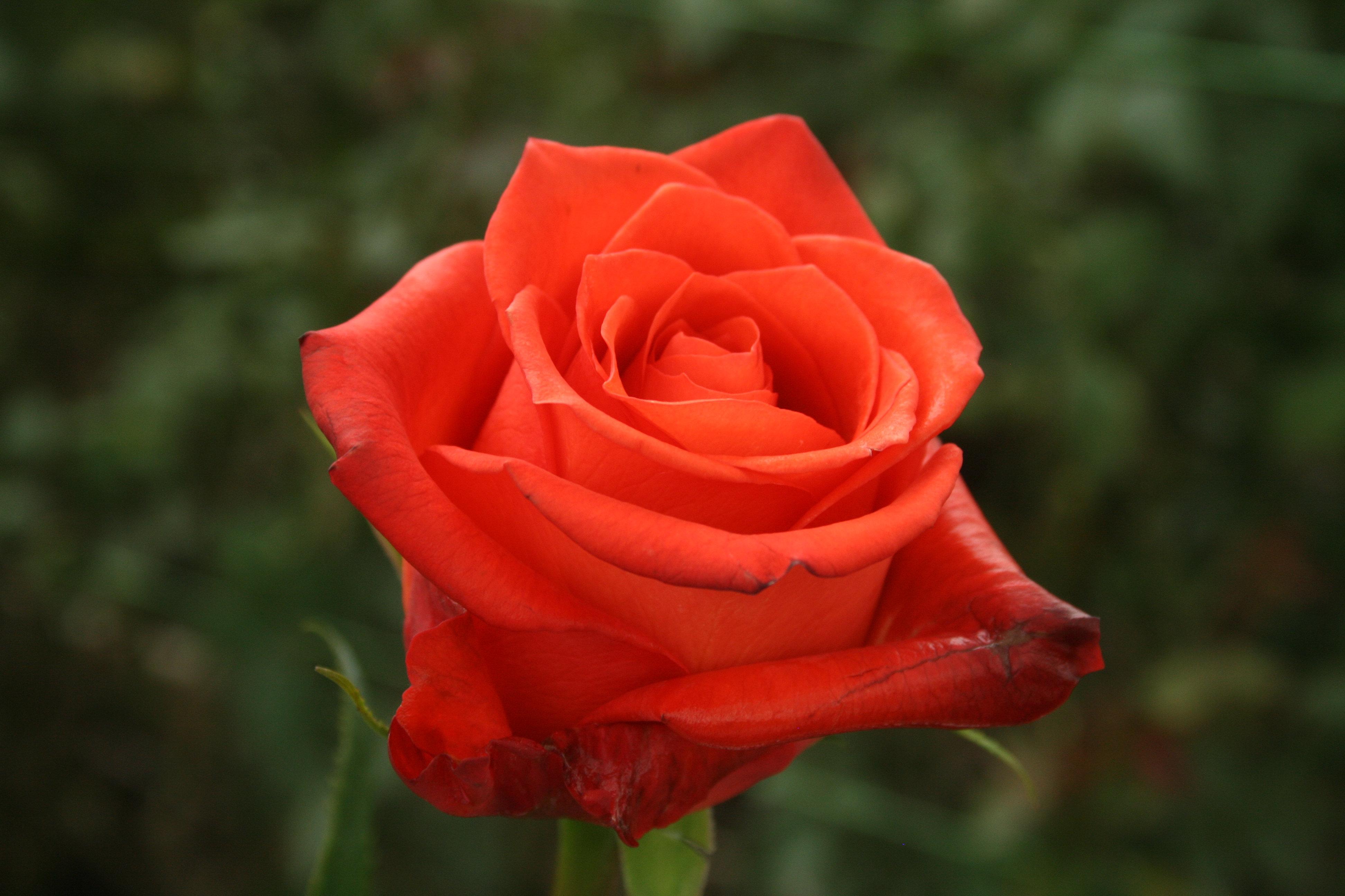 wholesale colombian roses rose growers wholesaler. Black Bedroom Furniture Sets. Home Design Ideas