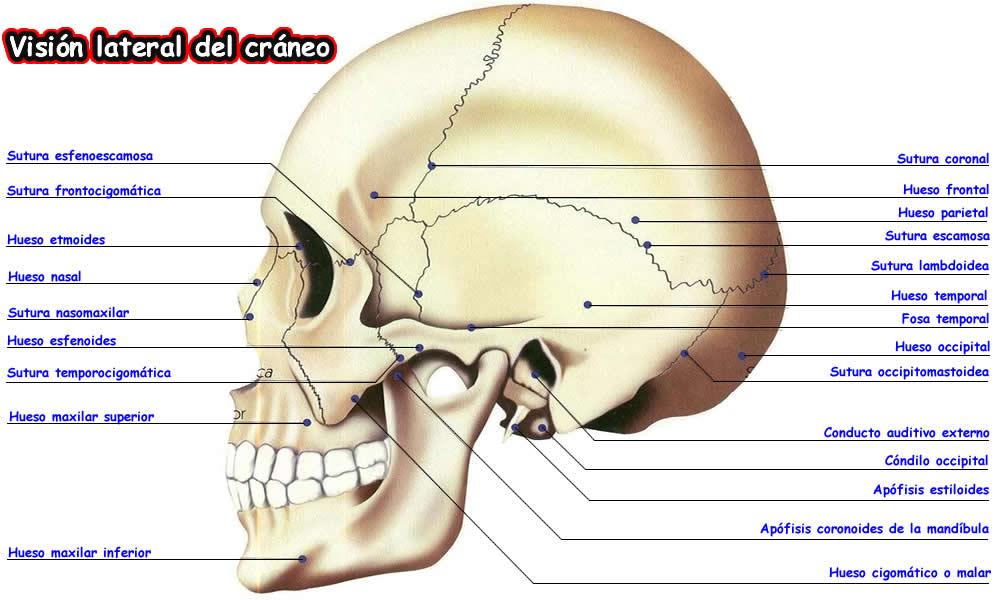 Contemporáneo Parte Posterior De La Anatomía Del Cráneo Ilustración ...