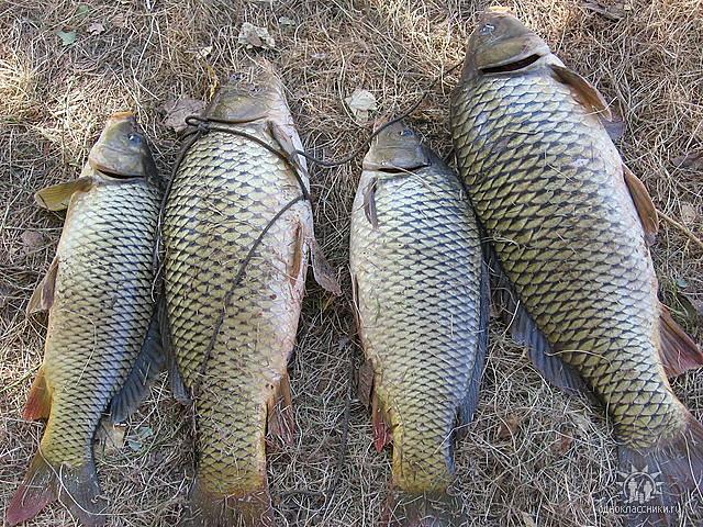 рыболовные для сазана