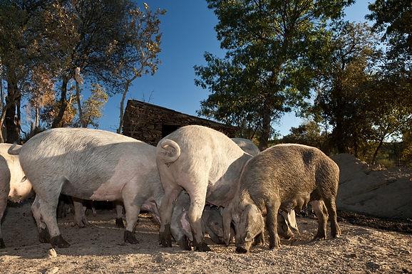 Filosofando sobre o porco