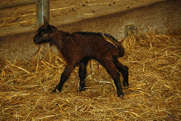 Capretta appena nata
