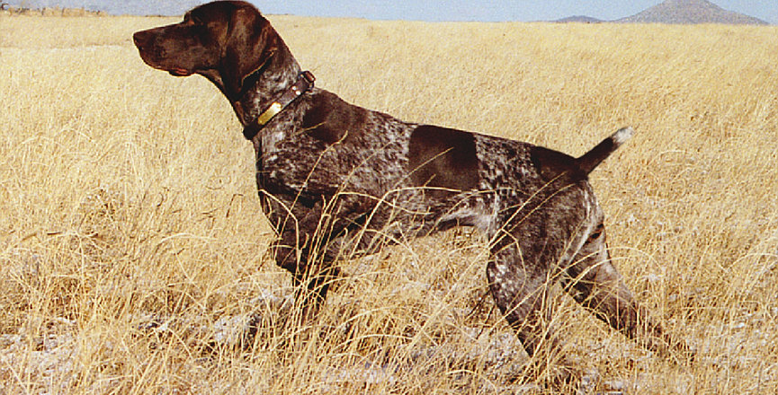 Florida Panhandle German Shorthair Pointer Events