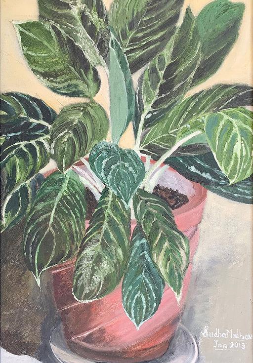 Dieffenbachia, a plant for all seasons.j