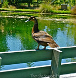 Duck on a Bench
