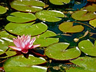 Pink Lily Pond