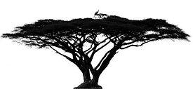 Acacia Tortillis.jpg