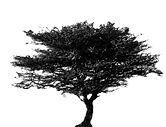 Acacia senegal Seedballs kenya.jpg