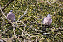 chasse pigeon Angleterre 1