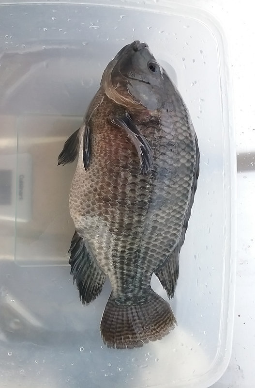Aquaponics Grown Tilapia - Beneficial Sustainable Fish Farming - Chemical free - Metropolitan Seafood & Gourmet
