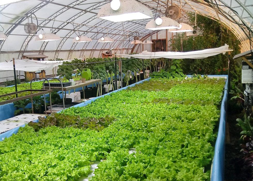 Farm Fresh Sustainable Greens, Microgreens, Vegetables, New Jersey Fresh Food, Aquaponics micro Farm, new jersey local farm, farmers market greenhouse