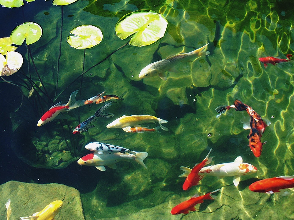 Dallas pond accessories and aquatic plants for Water plants for koi pond