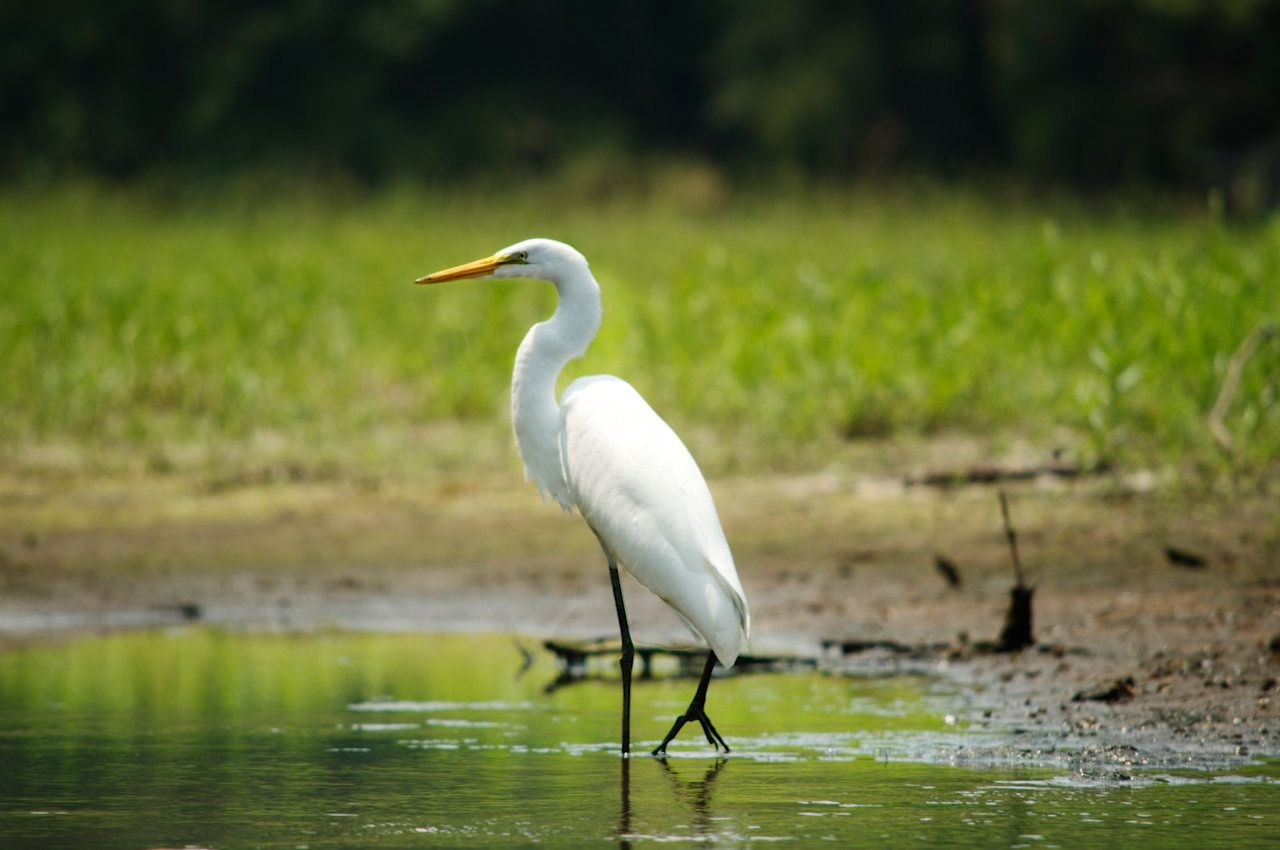 White crane bird - photo#11