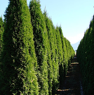 Hedging cedars vancouver frost nursery - Thuja smaragd growth rate ...