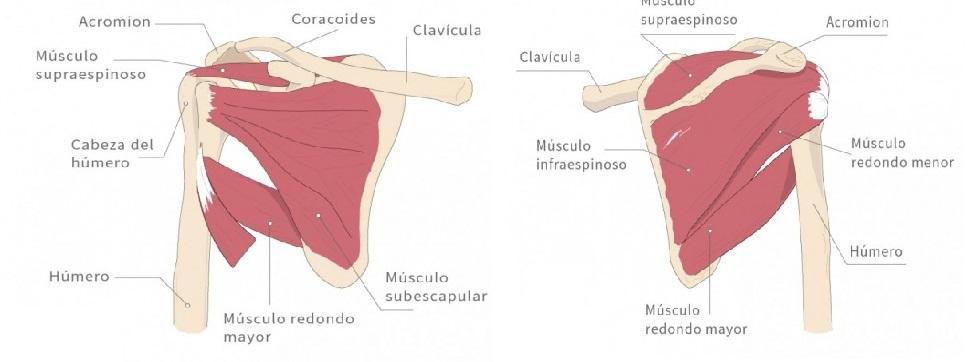 La elaboración de los músculos de la región escapular - 2. Región ...