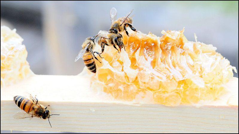 Honeybees1.JPG