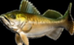 kisspng-fullcap-perch-fish-walleye-zande