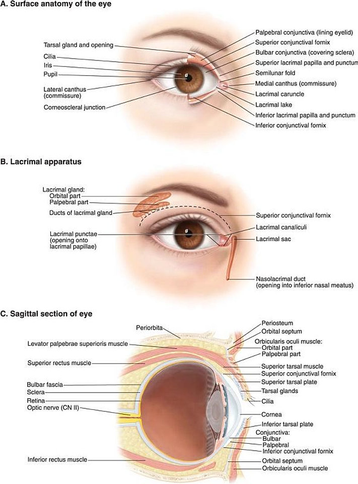 Eyelid anatomy diagram