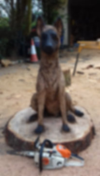 Fear na Coillte Chainsaw Scuptures.  Commissioned carving of pet dog. Belgian Malinois