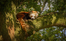 red panda .jpg