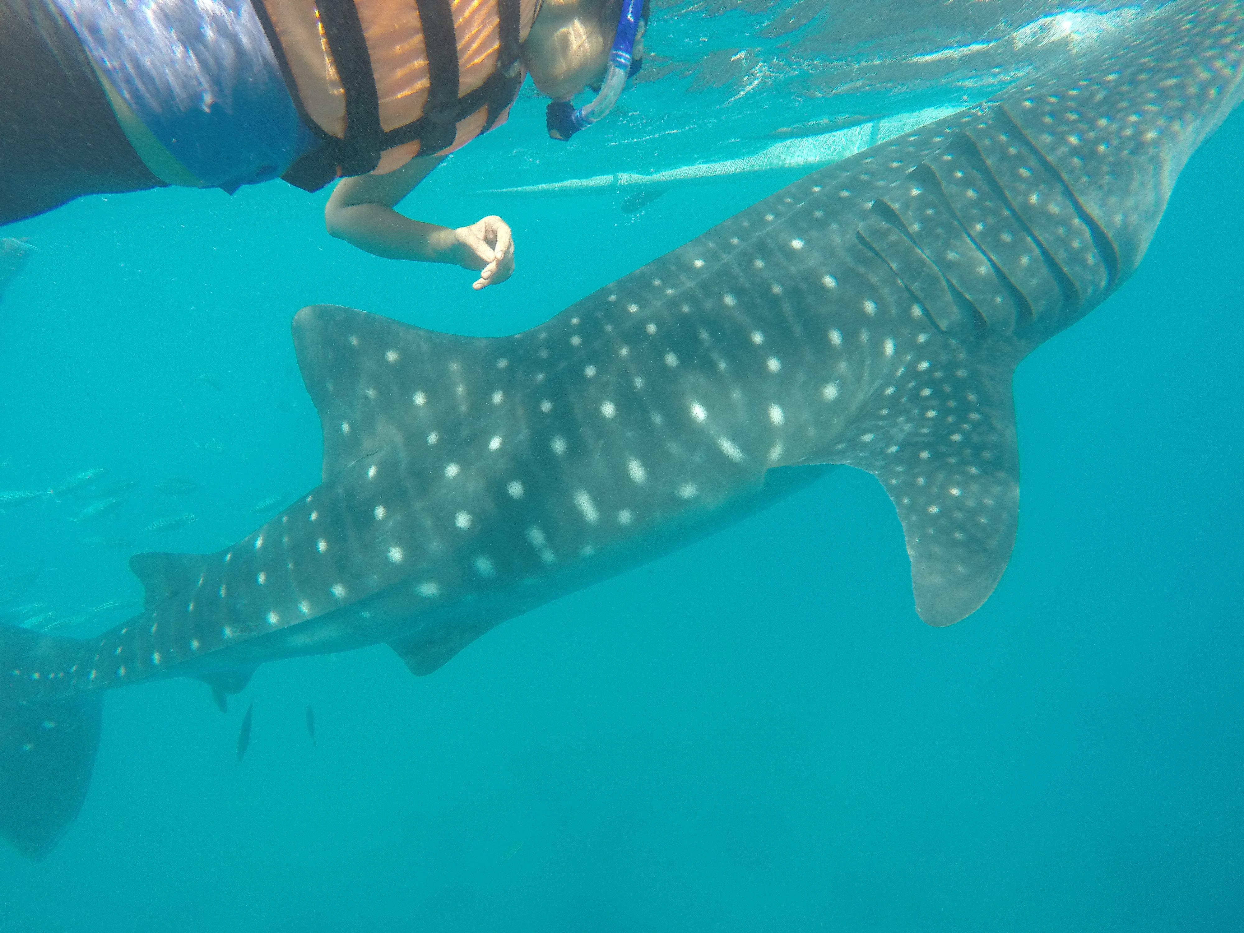 home desi on a roll whale shark watching oslob