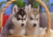 щени хаски в питомнике в Москве, Хасквишер, купить щенка хаски, сибирский хаски, питомник хаски, питомник по щелковкому шоссе