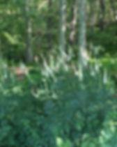 actaea_racemosa.black_cohosh-e1499793591