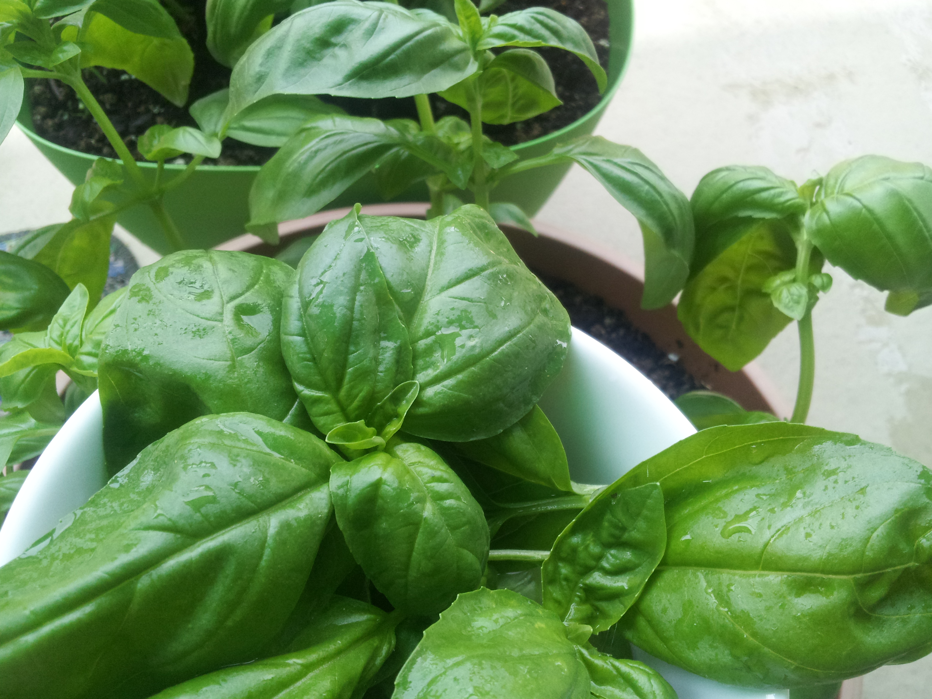 Mojito basilic basilic en ville articles - Basilic seche a ne pas consommer ...