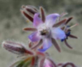 borragien-fiori.jpg
