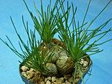 Albuca Namaquensis
