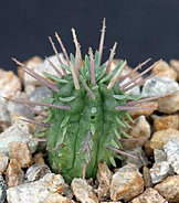 Euphorbiainconstantia-3.jpg