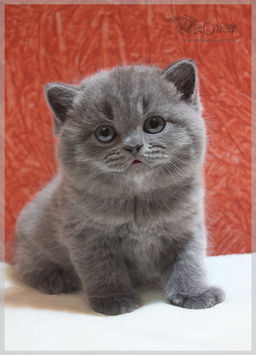 British shorthair for sale in dubai