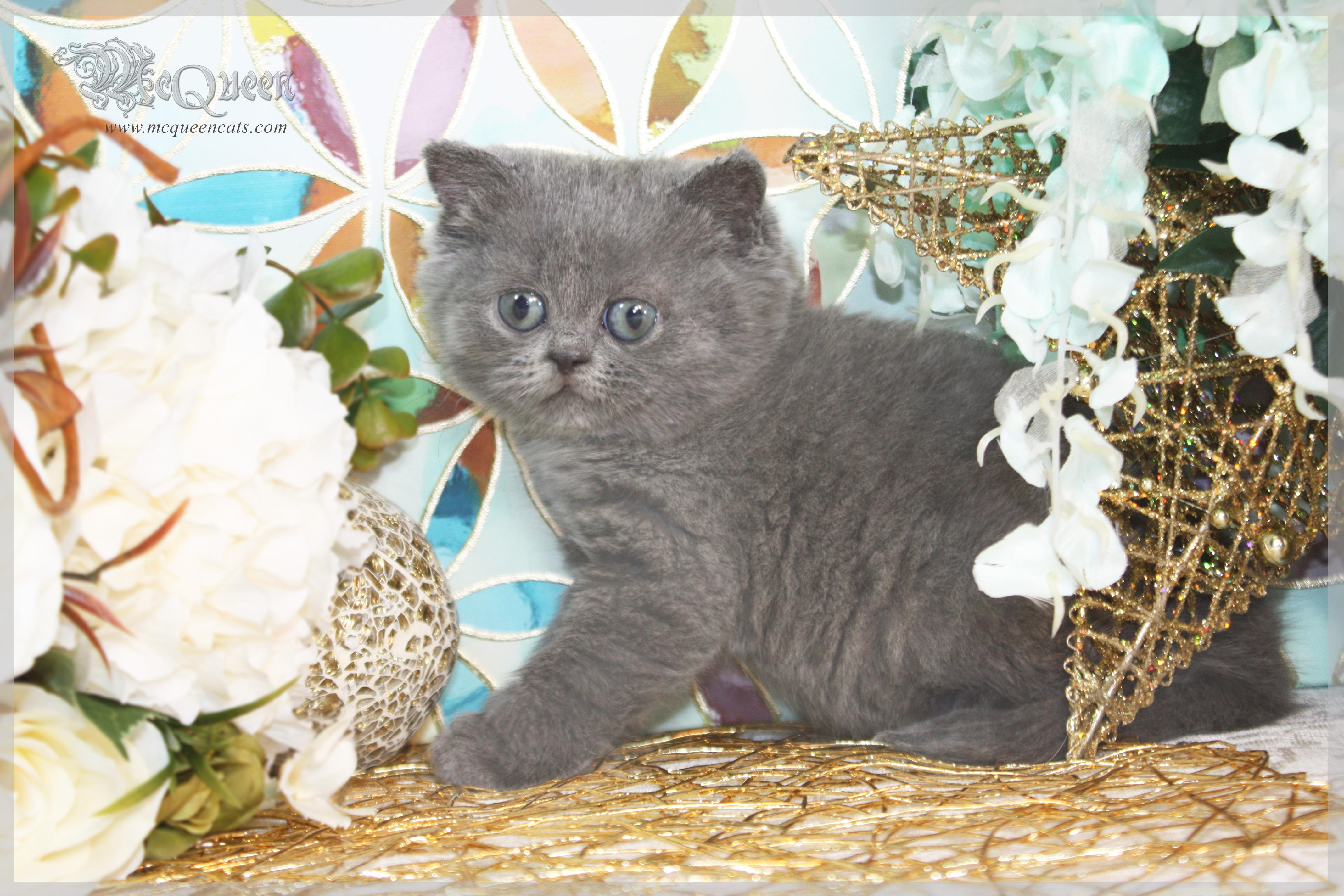 British blue shorthair kittens dubai