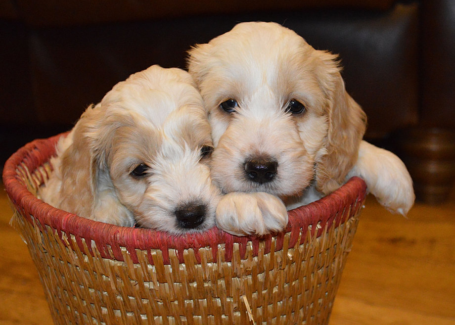 Cockapoo Puppies Wales