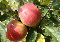 Ripe-Apples-Post-Rain_edited.jpg