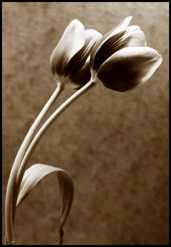 Twin Tulip Sepia