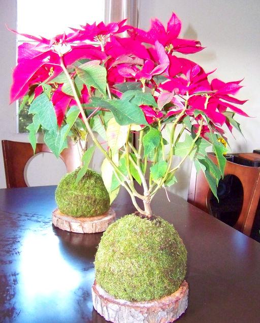 Kokedamas panam for Plantas ornamentales croto