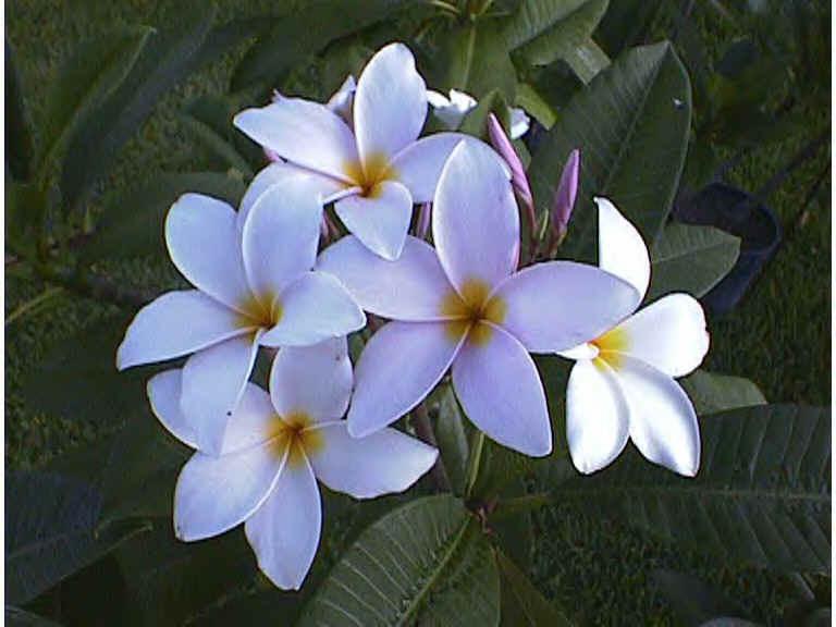 White oleander flower tattoo white oleander flower tattoo white oleander flower jpg mightylinksfo