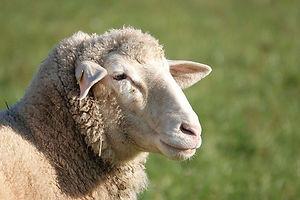 sheep-4673941_640.jpg