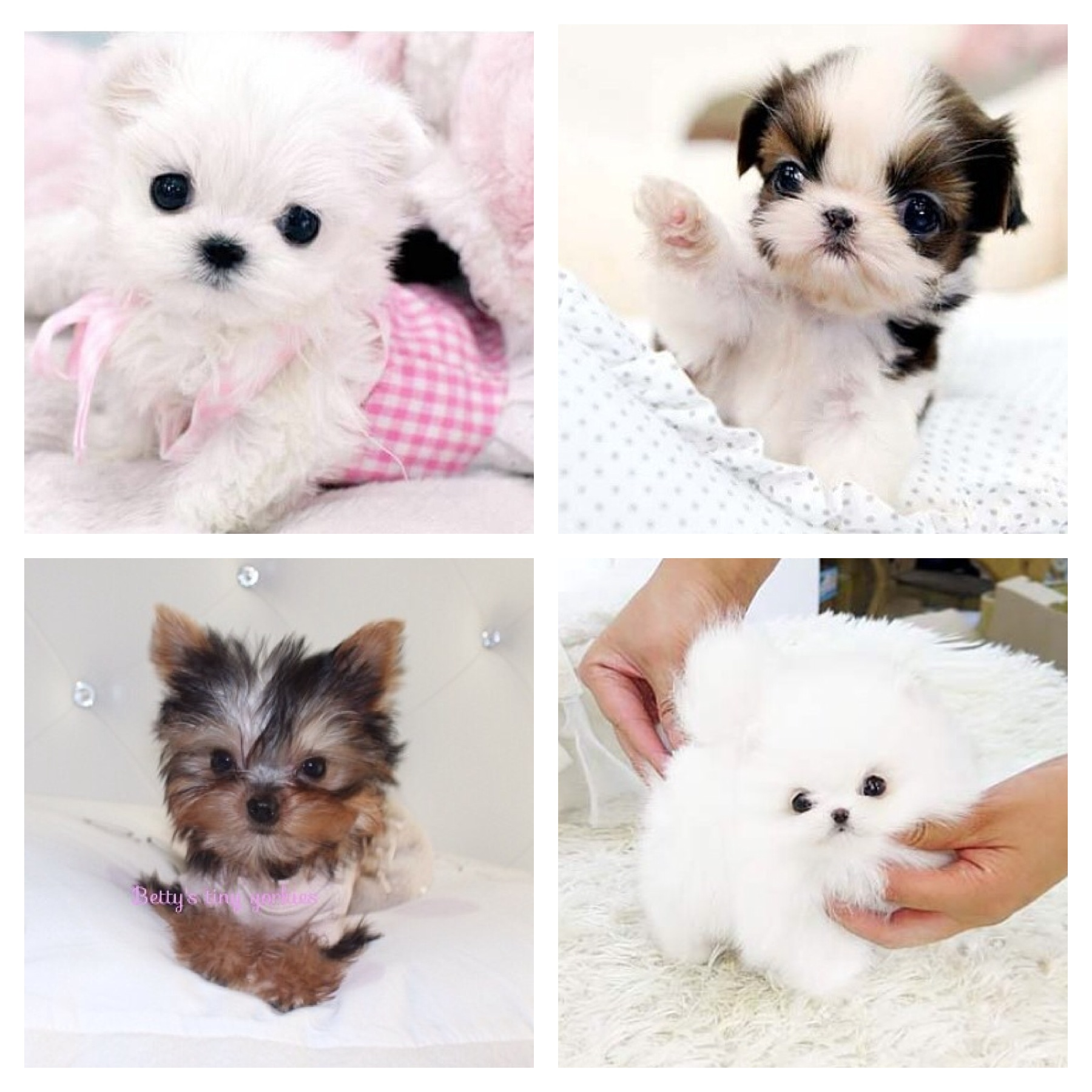 Chelsea chihuahua news we are delighted to announce we are now able to offer our customers micro and teacup pomeranians maltese shih tzu and yorkie you have seen the photos on nvjuhfo Images