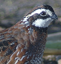 jumbo wisconsin bobwhite quail